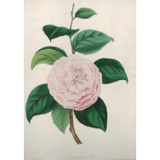 'Camellia Japonica Fordi'. One flower and leaves by F.W. Smith