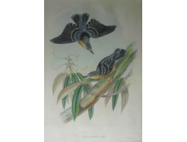 'Sitta Formosa: Blyth'. Pair of Beautiful Nuthatches on tree by J. Gould and H.C. Richter.