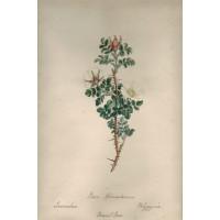'Rosa Spinosissimia Icosconebria Polygrynia Burnet Rose'.