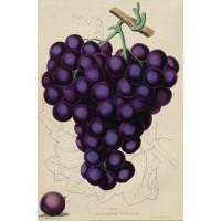 Grapes - 1. Mill Hill Hamburgh 2. Dutch Hamburgh.